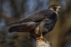 Peregrine by John Hammond