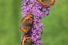 Small_Tortoiseshell_3492_David_G_Green