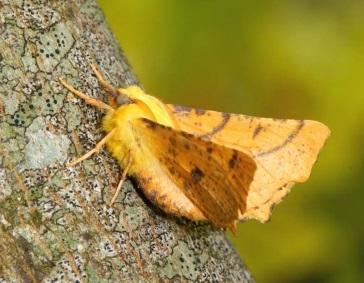 wrekin-moth