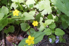 Yellow Pimpernel and Wood Speedwell